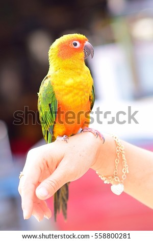 Cute sun conure parrot on woman hand back