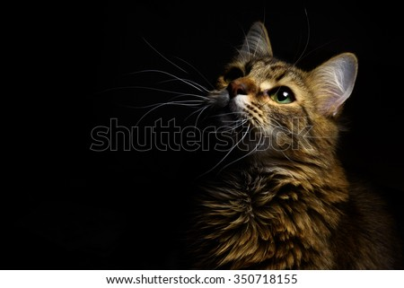 cute sweet tabby cat with interesting wise look on black background - stock photo