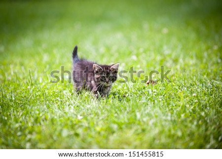 Cute tabby American shorthair baby kitten playing in green grass