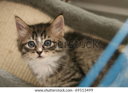 Cute tabby and white kitten looking out from her cage