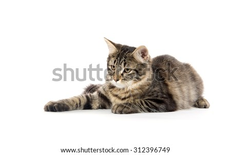 Cute tabby cat laying down and isolated on white background - stock photo