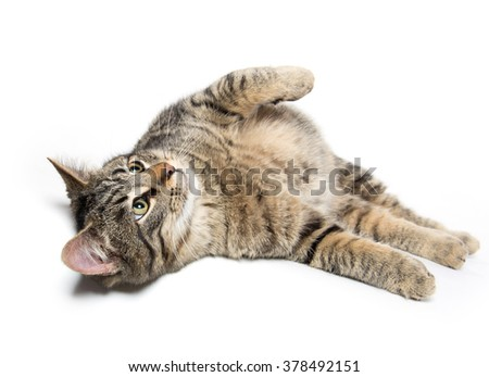 Cute tabby cat laying down isolated on white background - stock photo