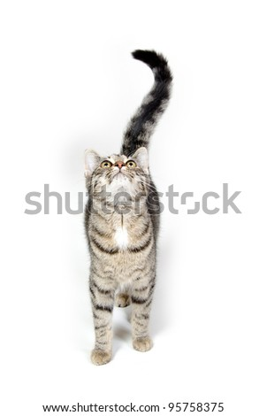 Cute tabby cat looking up and crying on white background - stock photo
