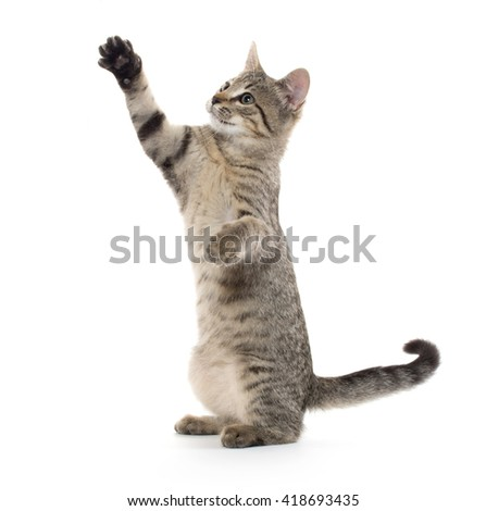 Cute tabby cat playing and swinging its paws isolated on white background - stock photo