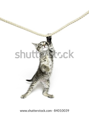 Cute tabby cat reaching up and playing with rope on white background - stock photo
