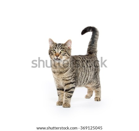 Cute tabby cat standing and isolated on white background - stock photo