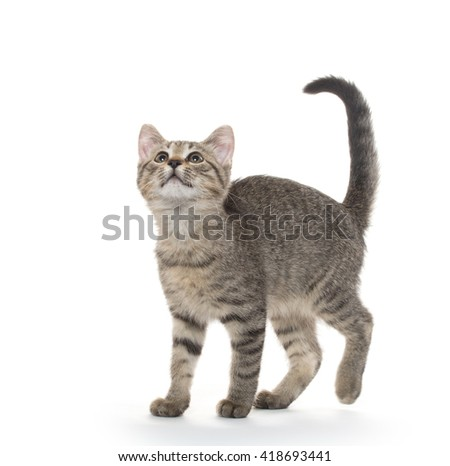 Cute tabby cat standing and isolated on white background
