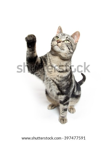Cute tabby cat swinging its paw isolated on white background