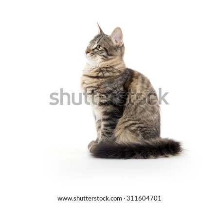 Cute tabby cat with long fluffy tail sitting on white background - stock photo