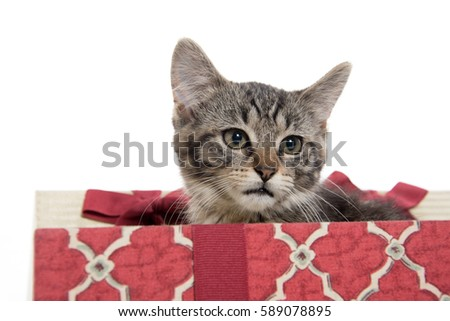 Cute tabby kitten inside of Christmas gift box on white background