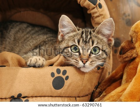 Cute tabby kitten looking out of his comfortable bed. - stock photo