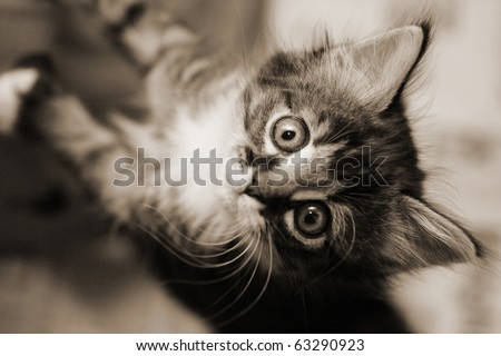 Cute tabby kitten looking up. Black and white image. - stock photo