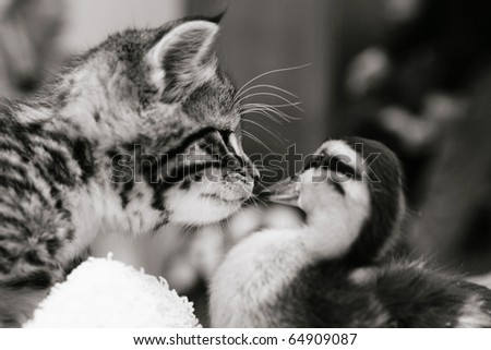 Cute tabby kitten meeting a duckling. Black and white image - stock photo
