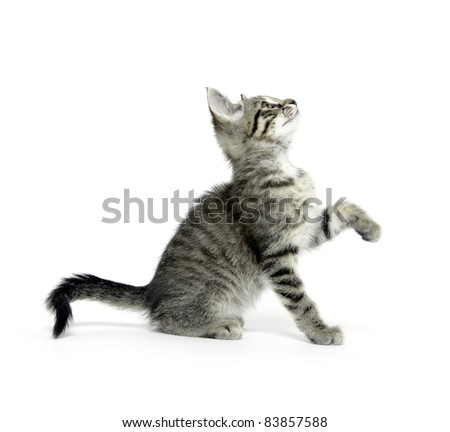 Cute tabby kitten playing on white background