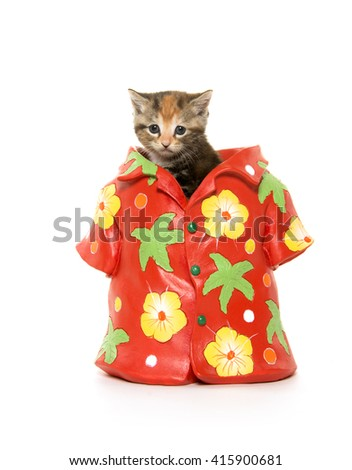 Cute tabby kitten sitting inside of hawaiian shirt isolated on white background