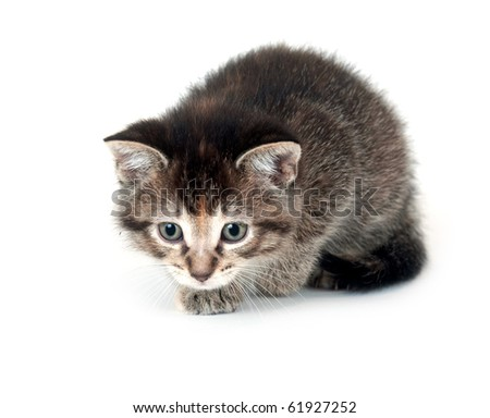 cute tabby kitten sneaking up on prey on white background