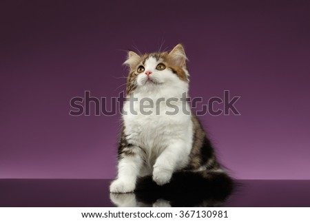 Cute Tabby Scottish straight Kitten Playing on Purple Background - stock photo