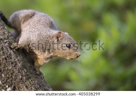 Cute Taiwan Squirrel is designated by Japan as an invasive alien species. - stock photo