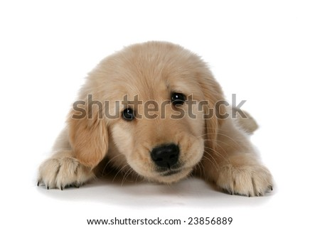 cute tan puppy with sleepy expression lifting up head - stock photo