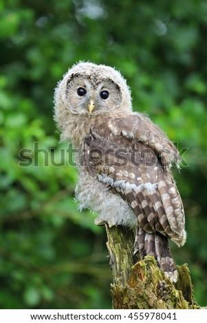Cute tawny owl - stock photo