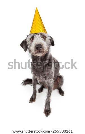 Cute terrier crossbreed dog sitting and wearing a yellow birthday party hat - stock photo