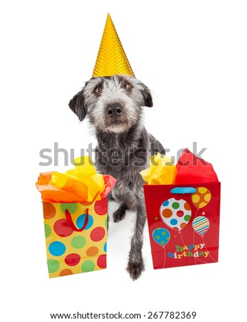 Cute terrier crossbreed dog sitting and wearing a yellow birthday party hat with colorful gift bags - stock photo