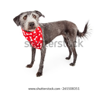 Cute terrier crossbreed dog standing on a white background while wearing a red bone print bandana - stock photo