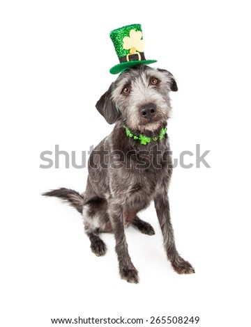 Cute terrier crossbreed dog wearing a St. Patrick's Day hat headband and clover collar - stock photo