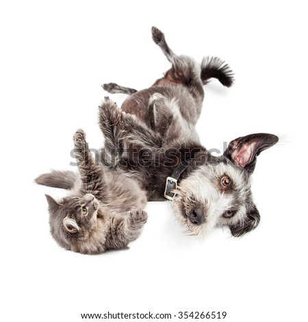 Cute terrier mixed breed dog and grey color longhair cat rolling around on the ground and playing together  - stock photo