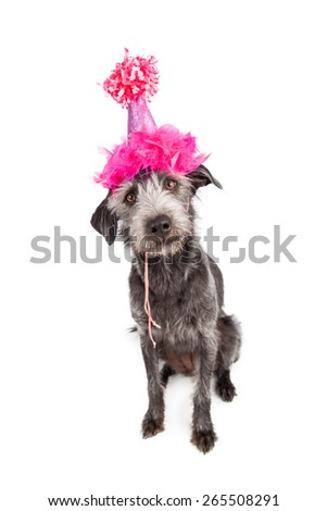 Cute terrier mixed breed dog wearing a fancy pink party hat - stock photo