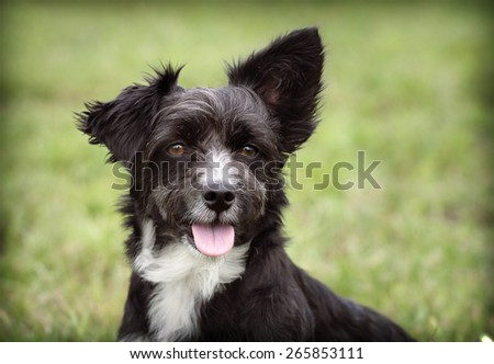 Cute terrier puppy male looking at the camera  - stock photo