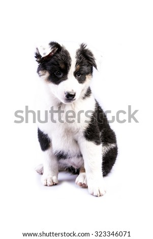 Cute Texas Blue Heeler (a cross breed of Australian Cattle Dog and Australian Shepperd) puppy isolated on white. - stock photo