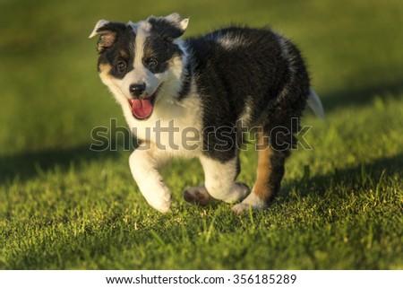 Cute Texas Blue Heeler (a cross breed of Australian Cattle Dog and Australian Shepperd) puppy running in the park in the golden hour sunset light. - stock photo