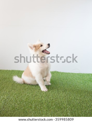 cute thai bangkaew dog puppies - stock photo