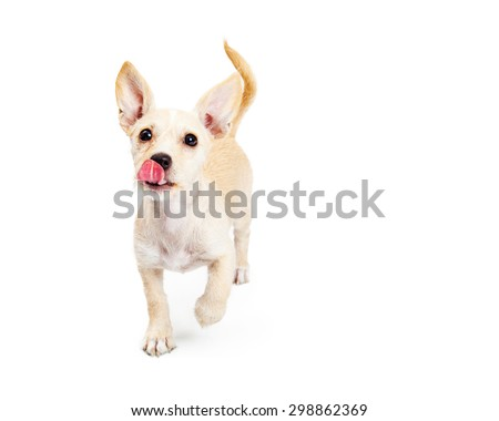Cute three month old puppy licking lips with tongue out and running towards the camera - stock photo