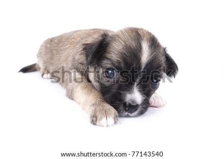 cute three weeks old brown with black mask Chihuahua puppy close-up on white background - stock photo