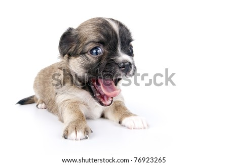 cute three weeks old Chihuahua puppy with funny open mouth close-up on white background - stock photo