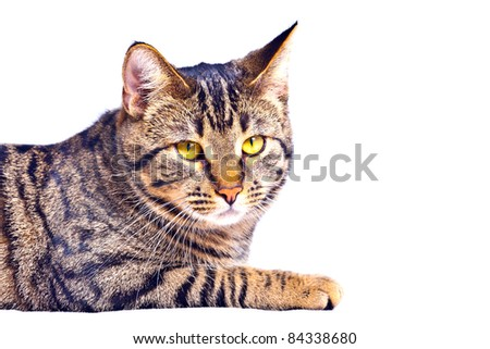 cute tiger cat isolated on white - stock photo
