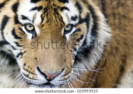 Cute tiger cub - stock photo