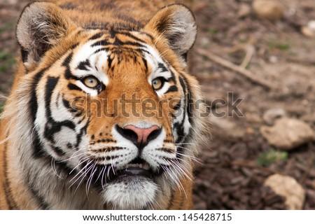Cute tiger cub  - stock photo