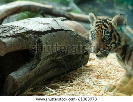 Cute Tiger Cub at the Zoo - stock photo
