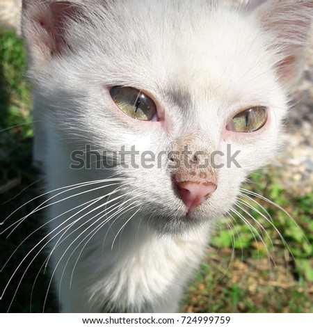 Cute tiny white cat with beautiful green eyes. Very nice close-up / macro shot while cat is looking. Sharp view and lovely tones. Nice green background.