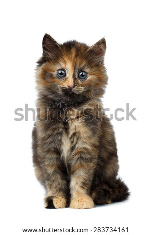 Cute Tortie Kitten sitting on White background, isolated