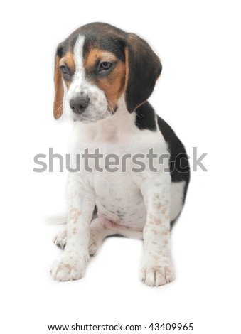 Cute tri-colored beagle puppy sitting isolated on white background