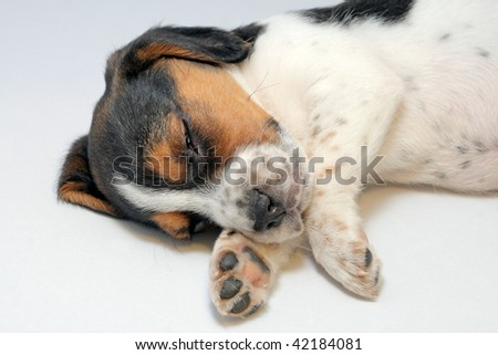 Cute tri-colored beagle puppy sleeping on the white background - stock photo