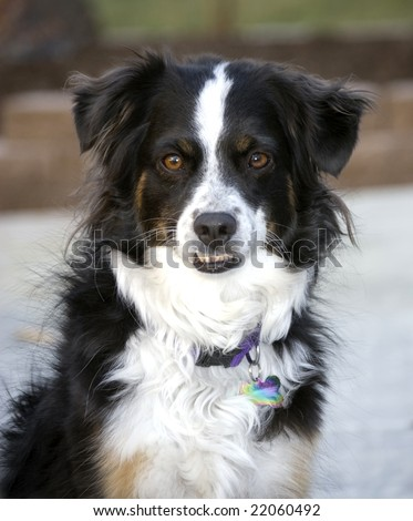 Cute, tri-colored Miniature Australian Shepherd with brown eyes showing her bottom teeth. - stock photo