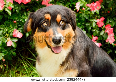 Cute tricolor australian shepherd dog on the roses - stock photo