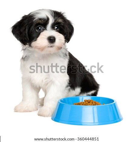 Cute tricolor Bichon Havanese puppy dog is sitting next to a blue bowl of dog food - isolated on white background - stock photo