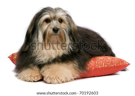 Cute tricolor Havanese dog is lying on a red xmas cushion. Isolated on a white background - stock photo