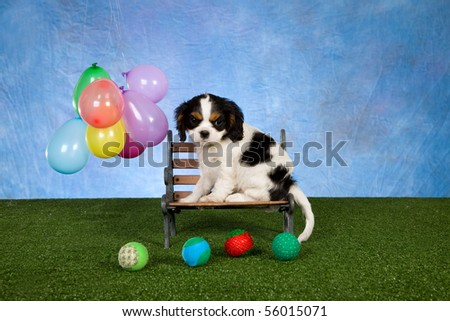 Cute Tricolour Cavalier King Charles Spaniel puppy with floating balloons on green lawn